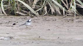 White Wagtail `Leucopsis` subtype stock video footage