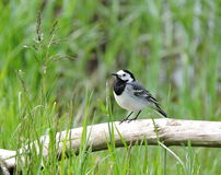 White wagtail, Lithuania Royalty Free Stock Images
