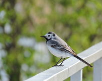 White wagtail, Lithuania Royalty Free Stock Photo