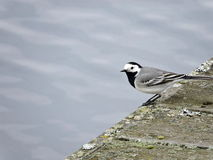 White wagtail, Lithuania Stock Photography