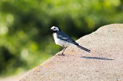 White Wagtail looks into the distance. She thinks about something. It`s hot now - summer. but she does not care, it`s so good. this is a male Stock Photography