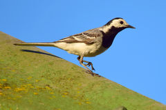 White wagtail. Male white wagtail (Motacilla alba Royalty Free Stock Images