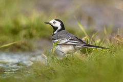 White wagtail male. Male white wagtail (Motacilla alba) drinking water in a wetland nature reserve in the Netherlands Stock Photography