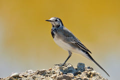 White Wagtail. Motacila alba sitting on rock Royalty Free Stock Photo