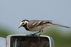 White Wagtail , Motacilla alba Stock Photo
