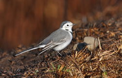 White wagtail (motacilla alba) Royalty Free Stock Photography