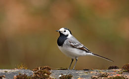 White wagtail (motacilla alba) Royalty Free Stock Photos
