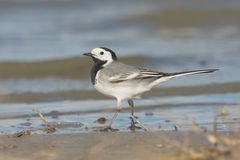 White Wagtail (Motacilla alba) Stock Images