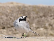 White Wagtail, Motacilla alba Stock Images