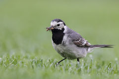 White Wagtail (Motacilla alba) Stock Photo