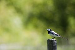 White wagtail. A white wagtail or motacilla alba Royalty Free Stock Images