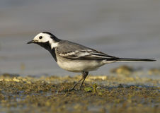 White Wagtail (Motacilla alba). Wildlife photo of wagtail on shore Royalty Free Stock Photo