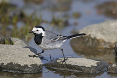 White wagtail, motacilla alba Royalty Free Stock Photos