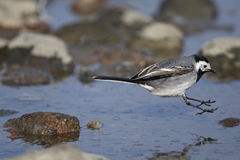 White wagtail, motacilla alba Stock Photo