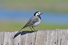 White Wagtail - motacilla alba Royalty Free Stock Photo