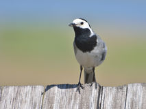White Wagtail - motacilla alba Royalty Free Stock Photography