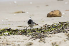 White Wagtail, Motacilla alba Royalty Free Stock Photography