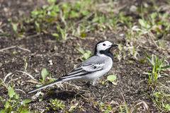 White wagtail, Motacilla alba, close-up portrait on ground, selective focus. White wagtail, Motacilla alba, close-up portrait on ground with spring grass Royalty Free Stock Images