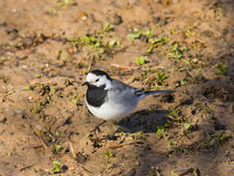 White wagtail, Motacilla alba, close-up portrait on ground with spring grass, selective focus, shallow DOF.  Royalty Free Stock Images