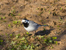 White wagtail, Motacilla alba, close-up portrait on ground with spring grass, selective focus, shallow DOF.  Stock Photography