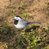 White wagtail, Motacilla alba, close-up portrait on ground with spring grass, selective focus, shallow DOF.  Stock Images