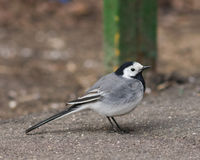 White wagtail, Motacilla alba, close-up portrait on road with bokeh background, selective focus, shallow DOF.  Stock Image