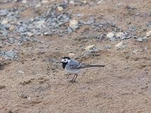 White wagtail, Motacilla alba, close-up portrait on sand, selective focus, shallow DOF.  Royalty Free Stock Image