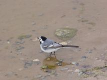 White wagtail, Motacilla alba, close-up portrait in water, selective focus, shallow DOF.  Stock Images