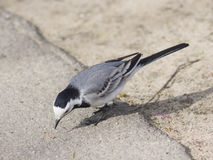 White wagtail, Motacilla alba, close-up searching for food on ground, selective focus. Shallow DOF Royalty Free Stock Photo