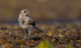 The White Wagtail - Motacilla alba - juvenile bird Stock Photo