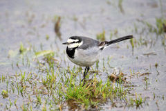 White Wagtail Stock Photos