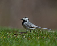 White wagtail (motacilla alba). Male in Sweden looking for insects in the grass to their kids Royalty Free Stock Images