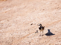 White Wagtail or Motacilla Alba in nature. The White Wagtail or Motacilla Alba in nature Stock Photography