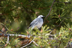 White wagtail (motacilla alba) on a pine. Close up of a wagtail sitting on a pine tree Royalty Free Stock Photos