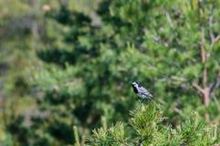 White wagtail (Motacilla alba) on pine tree branch Royalty Free Stock Photos