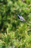 White wagtail or Motacilla alba on pine tree Stock Image