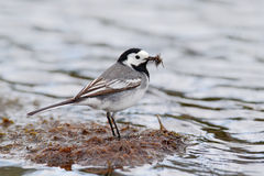 White Wagtail, Motacilla alba, in the river. Bird with food for young birds. Spring, nesting time. Bird in the water. Wildlife beh Stock Photos