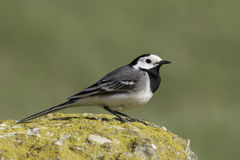 White Wagtail (Motacilla alba) Royalty Free Stock Images