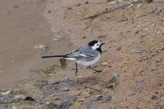 White wagtail, Motacilla alba, running on sand close-up portrait, selective focus, shallow DOF.  Royalty Free Stock Photo