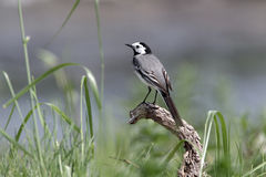 White wagtail, Motacilla alba Royalty Free Stock Images
