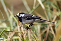 The white wagtail motacilla alba sitting on the reed. On the shore of the pond stock photo