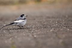 White Wagtail Motacilla alba. Spotted outdoors in the wild Royalty Free Stock Photography