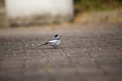 White Wagtail Motacilla alba. Spotted outdoors in the wild Stock Image