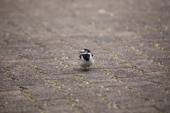 White Wagtail Motacilla alba. Spotted outdoors in the wild Stock Photography