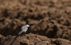 White wagtail Motacilla alba in spring Royalty Free Stock Photography