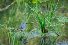 White Wagtail or Motacilla alba. Wagtails is a genus of songbirds. Wagtail is one of the most useful birds. It kills mosquitoes an. D flies, which deftly chases stock images