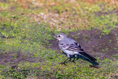 White Wagtail or Motacilla alba. Wagtails is a genus of songbirds. Wagtail is one of the most useful birds. It kills mosquitoes an. D flies, which deftly chases stock image
