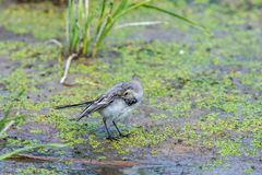 White Wagtail or Motacilla alba. Wagtails is a genus of songbirds. Wagtail is one of the most useful birds. It kills mosquitoes an. D flies, which deftly chases royalty free stock photos