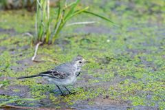 White Wagtail or Motacilla alba. Wagtails is a genus of songbirds. Wagtail is one of the most useful birds. It kills mosquitoes an. D flies, which deftly chases royalty free stock images