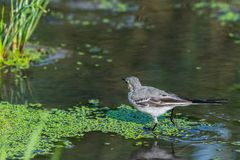 White Wagtail or Motacilla alba. Wagtails is a genus of songbirds. Wagtail is one of the most useful birds. It kills mosquitoes an. D flies, which deftly chases stock photography